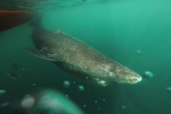 greenland-shark